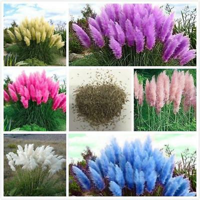 Rare Reed seed Flowers grass pampas Seeds are very beautiful Decorative Garden