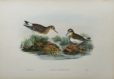John Gould ORIGINAL Hand Colored Lithograph, Birds of Great Britain