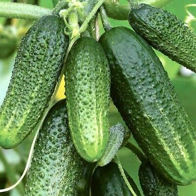 Cucumber Grandson F1 Seeds cucumbers organic non gmo Ukraine 0.3 g Farmers dream