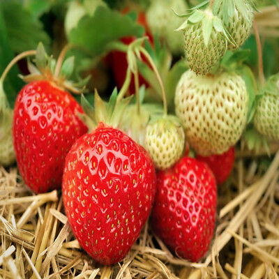 Seascape Beauty Everbearing 25 Live Strawberry Plants, NON GMO, By Hand Picked