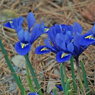 Bolly Bulbs® - Dwarf Iris Reticulata 'Harmony' Early Spring Flowering Miniature
