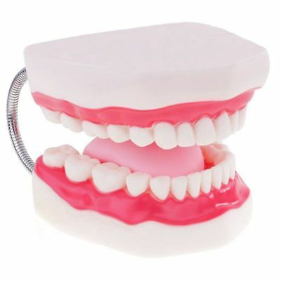 8X(Demonstration model of teeth Human mouth teaching aids for Kindergarten Y4P9)