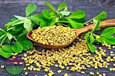 100 FENUGREEK HERB SEEDS HEIRLOOM 2019 (non-gmo heirloom