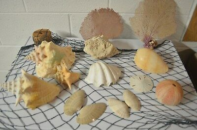 sea shell lot - Large size 14+ pieces