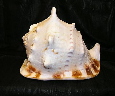 Giant Queen Helmet Conch Sea Shell , All Natural Fossil.