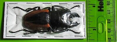 Lot of 10 Wollastons Stag Beetle Odontolabis wollastoni 50-55mm Male FAST USA