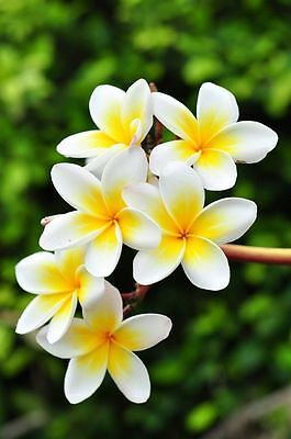 Florida professionaly grown Plumeria cutting 7 to 10 inches long.