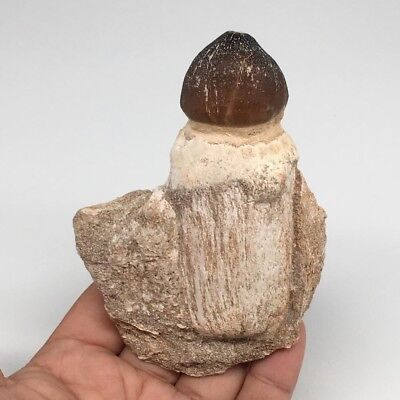 """212.4g,4.1""""X3.1""""x1.8"""" Fossil Globidens Mosasaur Tooth Cretaceous @Morocco,MF3033"""
