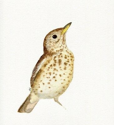 Original Watercolour Song Thrush Painting by Emma Hogan Wall Picture Art