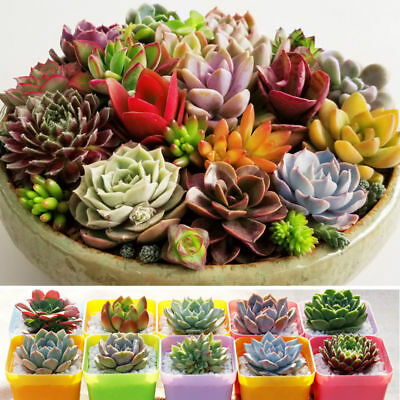 Mixed 400pcs Succulent Seeds Lithops Rare Living Stones Plants Cactus Home Plant