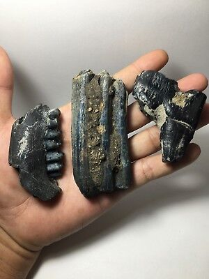 Lot. 3 pcs. Deer -  horse - Rhinoceros Pleistocene Real Fossil Tooth