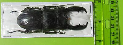Lot of 10 Giant Stag Beetle Dorcus titanus typhon Male 70-75mm FAST FROM USA