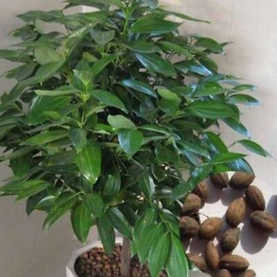 20Pcs Cinnamon Seeds Indoor Outdoor Plants Evergreen Tree Seed Herb Traditional