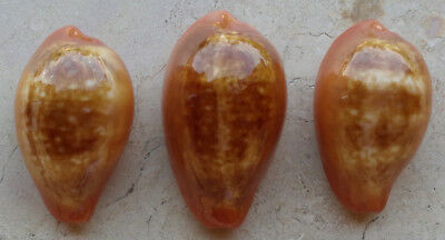 SHELLS CONCHIGLIE SET OF 3 CYPRAEA PYRUM mm.36,4 mm.33 mm.32 GREECE