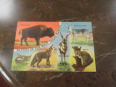 """C-1940's Postcard """" Natives of the West Texas Ranges."""""""