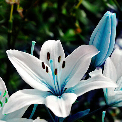 Egrow 50Pcs Blue Heart Lily Seeds Potted Plant Bonsai Lily Flower Seeds For Home