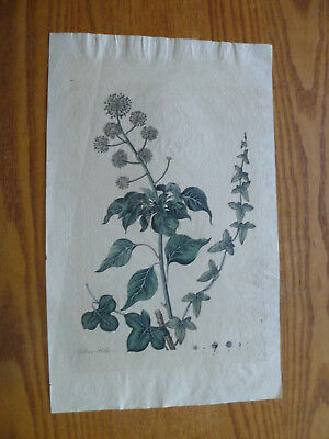 Hand Colored Engraving-1780-English / Common Ivy-Laid Paper-WATERMARK