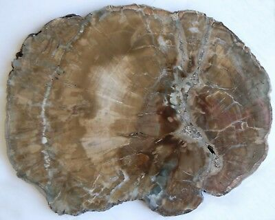 Very Large, Polished Arizona Petrified Wood Round-Woodworthia