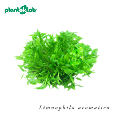 Live Aquarium Plants In Vitro Shrimp Safe UK - Limnophila aromatica