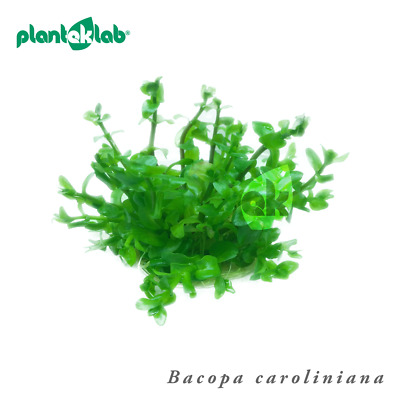 Live Aquarium Plants In Vitro Shrimp Safe UK - Bacopa caroliniana