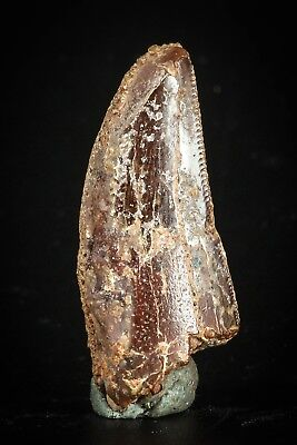 J113 - Top Beautiful 1.27 Inch Carcharodontosaurus Dinosaur Tooth KemKem