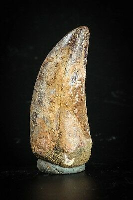 J115 - Top Beautiful 1.39 Inch Carcharodontosaurus Dinosaur Tooth KemKem