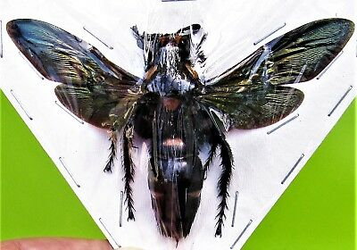 Lot of 5 Giant Iridescent Scoliid Wasp Megascolia procer Female Spread FAST USA