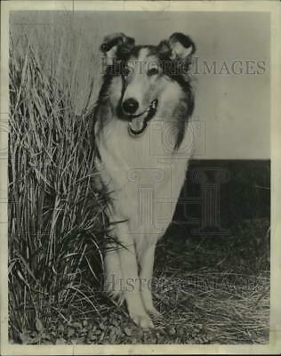 "1954 Press Photo Lassie World Famous Canine Showcased in New Series ""Lassie"""
