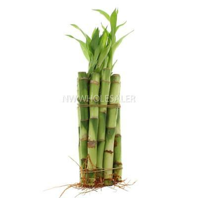 NW WHOLESALER - Lucky Bamboo 5 Stalk with Spiral - Bundle of