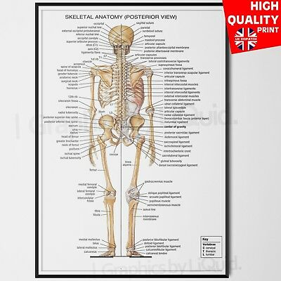 The Human Body Anatomy Skeletal System Back Poster | A4 A3 A2 A1 |