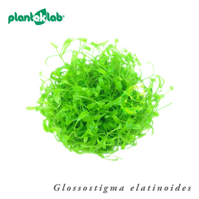 Live Aquarium Plants In Vitro Shrimp Safe UK - Glossostigma elatinoides