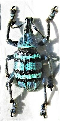 Amazing Magnificent Snout Beetle Eupholus magnificus FAST SHIP FROM USA