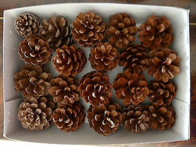 Pine Cones 12 SMALL Ideal for Christmas Natural Pinecone decorations Craft