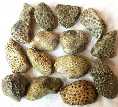 14 Unpolished Michigan Petoskey Stone - Hexagonaria - Coral Fossil - 6.5+ Pounds