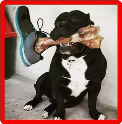 Funny Pit Bull Terrier Bone In Shoe Scare Refrigerator / Tool Box Magnet
