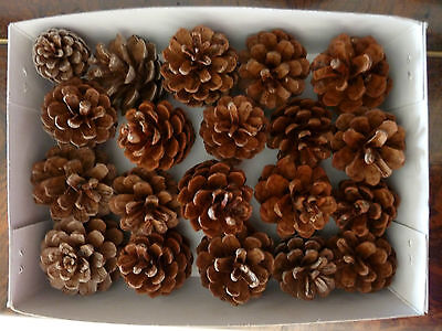 Pine Cones 24 Small  EXPRESS POST  Ideal for Christmas Decor Pinecones Craft