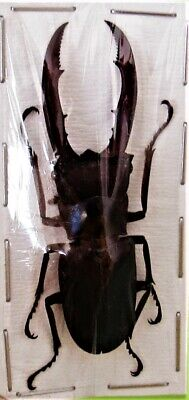 Staghorn Beetle Cyclommatus metallifer finae Black 40-45 mm Male FAST FROM USA