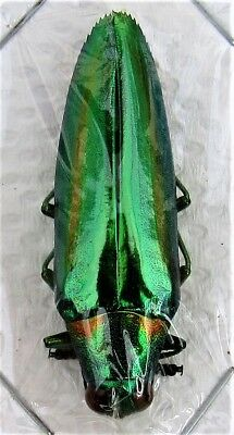 Lot of 10 Beautiful Jewel Beetle Chrysochroa rajah thailandica FAST FROM USA
