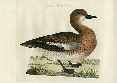 EURASIAN WIGEON-WIDGEON-MARECA PENELOPE-DUCK-II [Jan SEPP after NOZEMAN, 1770]