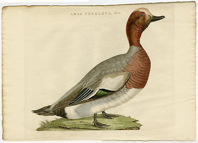 EURASIAN WIGEON-WIDGEON-MARECA PENELOPE-DUCK-SET [Jan SEPP after NOZEMAN, 1770]