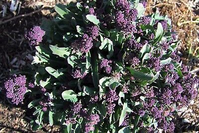 Broccoli Purple Sprouting (300 seeds) - Organic Heirloom from Life-Force Seeds