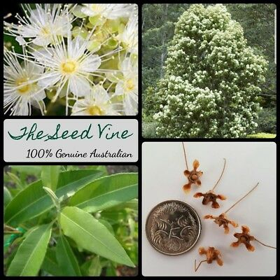 20+ LEMON MYRTLE SEEDS (Backhousia citriodora) Australian Native Essential Oil