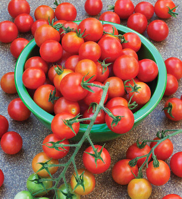 Organic Tommy Toe TOMATO seeds heirloom ~ foil pack ~ Yes we send to Tas