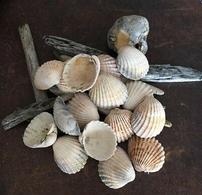 🐚16 Large Cockle Shells Arts/crafts. Themed Weddings.table Decorations.