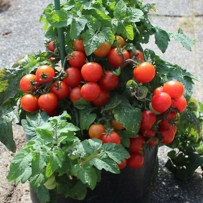 Tomato Tiny Tim (60 seeds)- Organic Heirloom from Life-Force Seeds