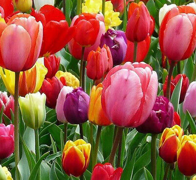 100 Tulip Flower Bulbs-Spectacular Rainbow Mix-All Colors(Pack of 100) Zones:3-8