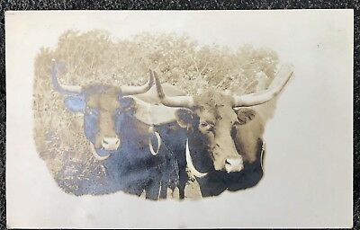 Rare Vintage Real Photo Postcard Rppc Texas Longhorn Cattle