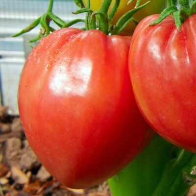 TOMATO Oxheart Heirloom~ foil pack ~ Yes we send to Tas