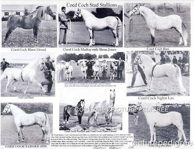 Welsh Pony Coed Coch Bari Planed Madog & more Stallions Photo Compilation