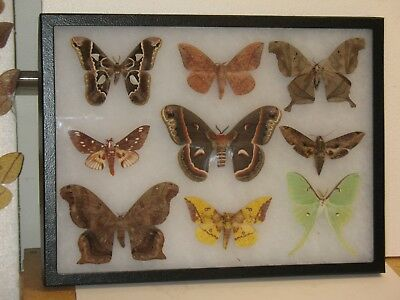 Real framed Moth Collection from United States and Mexico #6